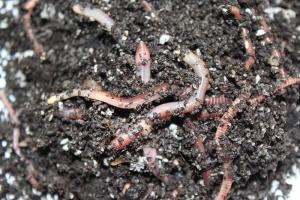 Dendrobena Wurm
