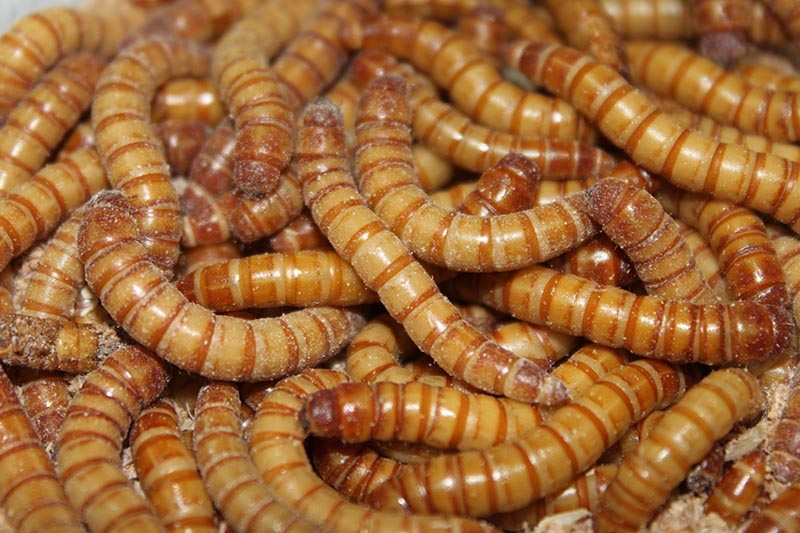 Mehlwurm und Zophobas
